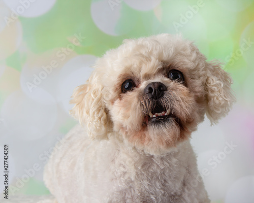 Photo Cute little bichon frise shih tzu mix young adult dog in the studio on a colourf