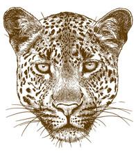 Engraving Illustration Of Leop...