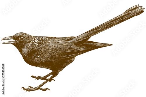 Obraz na plátně engraving antique illustration of blue whistling thrush