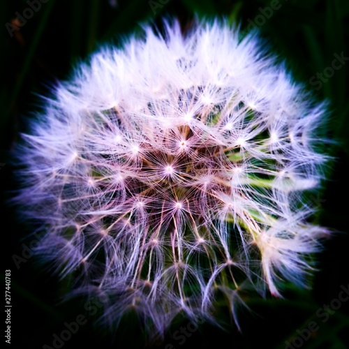 Fototapety, obrazy: dandelion on black background