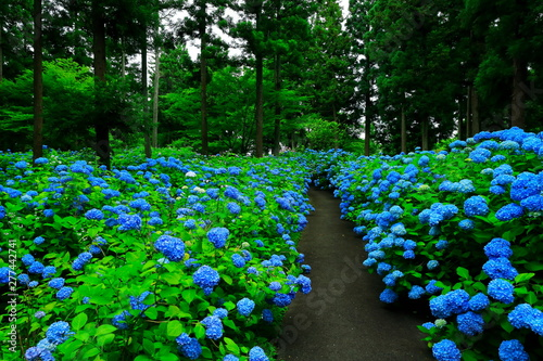 館山史跡公園の紫陽花