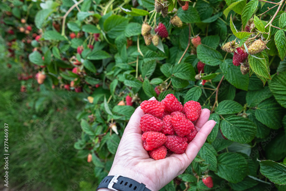 Fototapety, obrazy: Woman's hand holding a bunch of harvested red raspberries on a rural farm, rainy day, Pacific Northwest, USA
