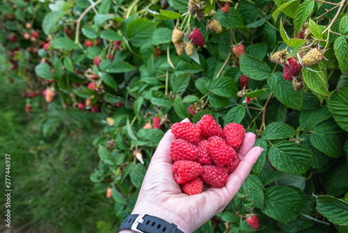 Woman's hand holding a bunch of harvested red raspberries on a rural farm, rainy day, Pacific Northwest, USA