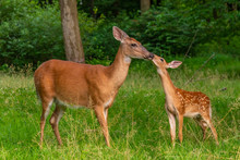 Mother And Baby Deer Kissing