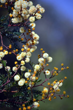 Yellow Flowers And Buds Of The...