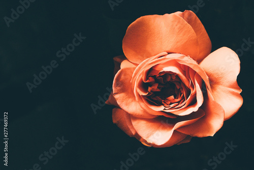 Photo sur Toile Fleur Beautiful orange rose in the darkness. Dark floral background