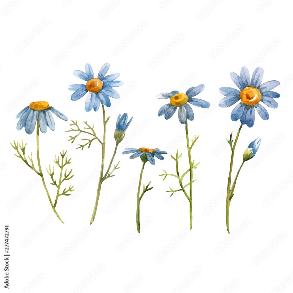 Fototapeta Blue chamomile daisy vector flower