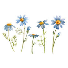 Blue Chamomile Daisy Vector Flower