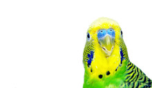 Budgerigars Isolated On White ...