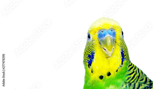 Obraz na plátně budgerigars isolated on white background. wavy parrot close up.