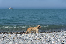 Street Vagabond, Stray Dog On The Pebble Beach Of The Black Sea On A Warm Summer Day After Swimming