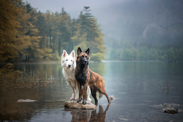 Berger blanc suisse and bel...