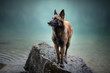 canvas print picture - Belgian shepherd is standing in water. Dog in a mountain scenery with foggy mood. Hiking with mans best friend to lake.