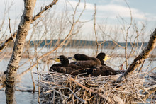 Young Cormorants In A Nest
