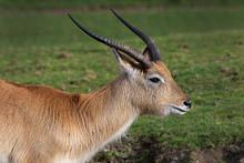 A Close Profile Of A Kafue Fla...