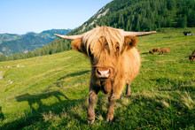 A Young Bull From A Highland Cattle Flock Curiously Walks Towards The Camera. In The Background A Mountain Panorama And Some More Cattle Are Grazing.