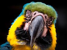Papagei Mit Blauen, Gelben Und Grünem Gefieder Als Kopfaufnahme In Frontansicht