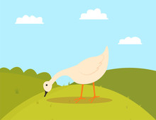 Goose Pecking Grass, Walking Farm Bird Character, Side View Of White Countryside Animal, Duck Or Fowl Outdoor, Poultry Eating On Hills, Farming Vector