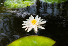 Beautiful Blossom White Water Lily Flower With Big Green Leaves In Dark Pond