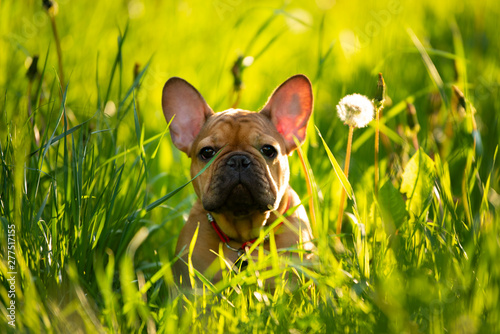 Staande foto Franse bulldog french bulldog puppy playing in the grass at sunset