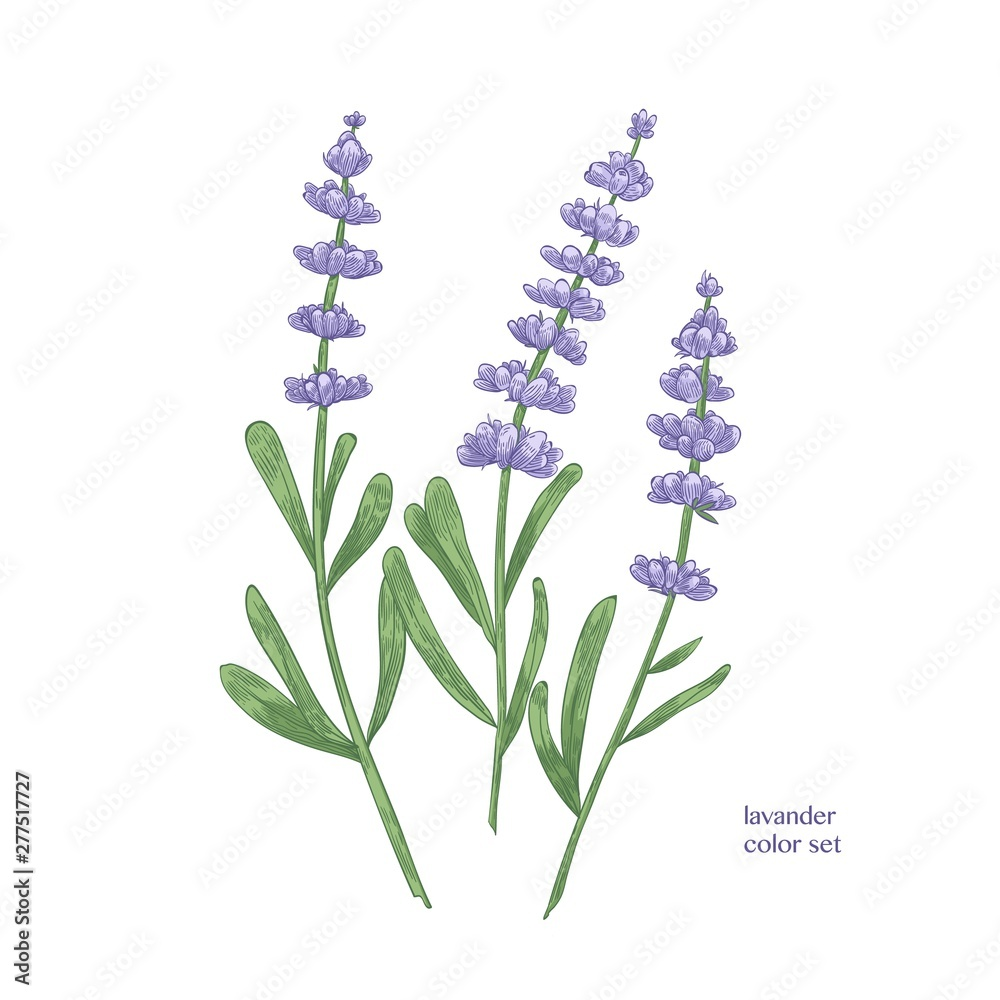 Fototapeta Elegant botanical drawing of lavender flowers and green leaves. Beautiful flowering plant hand drawn on white background. Aromatic herb used in culinary or aromatherapy. Realistic vector illustration.