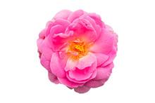 Pink Of Damask Rose Flower