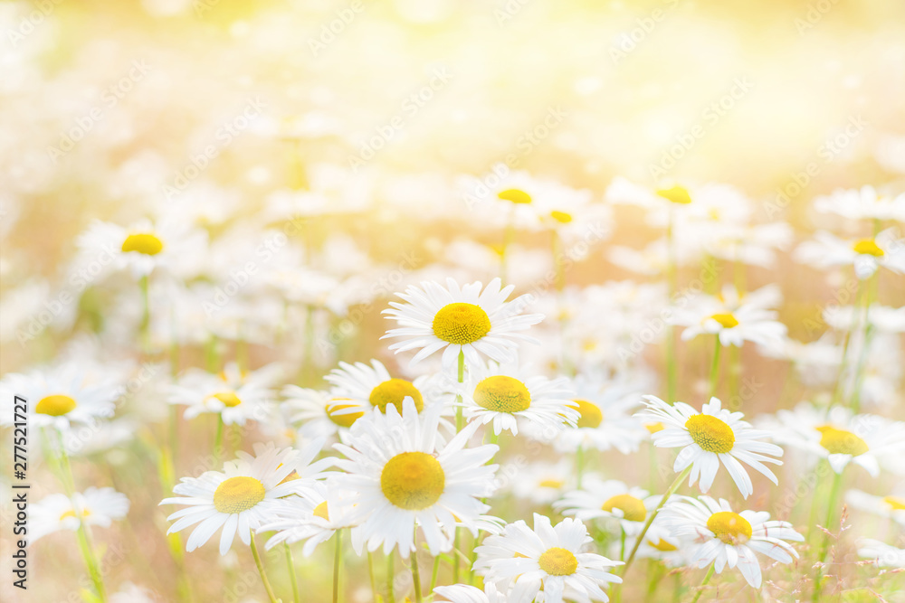 Fototapeta Summer background with beautiful daisies in sunlight. Field daisies on summer meadow.