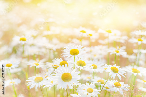 Obraz na plátně  Summer background with beautiful daisies in sunlight