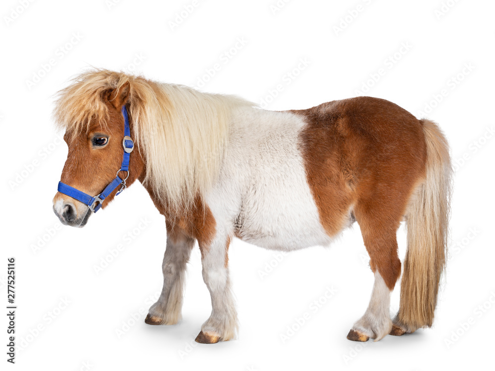 Fototapety, obrazy: Brown with white Shetland pony, standing side ways. Looking straight ahead. Isolated on a white background.