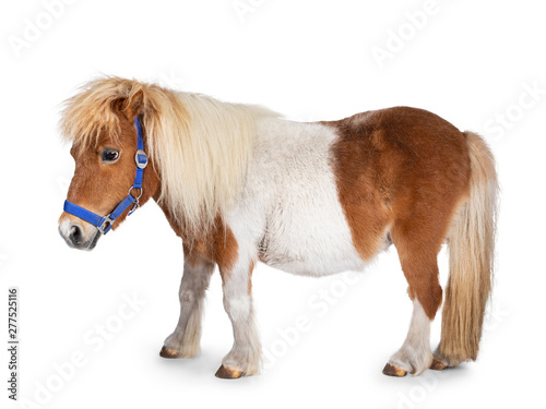 Poster Paarden Brown with white Shetland pony, standing side ways. Looking straight ahead. Isolated on a white background.