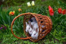 Little White Red-eyed Rabbits Sit In A Wicker Brown Basket Of Veins On A Field Of Red And Yellow Tulips