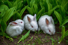 Cute Little White Rabbits On A Green Background Avalanche On The Field