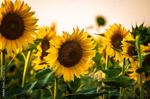 Foto op Plexiglas Weide, Moeras Beautiful sunflowers on agriculture field at sunset