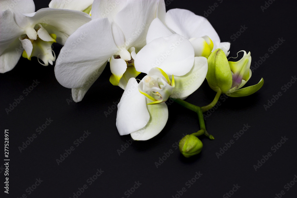 Fototapety, obrazy: white orchid phalaenopsis on a dark background, place for your text