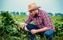 Farmer In A Sugar Beet Field. Agricultural Concept