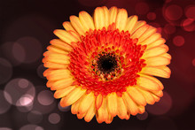 Multi Color Gerbera Daisy
