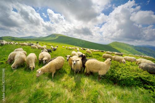 Fototapeta A flock of sheep on a mountain