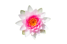 Beautiful Pink Lotus Flower Isolated On White Background. Aquatic Water Lily Fresh Nature Flower Blooming Top View Flat Lay.