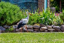 Stork Walking Around The Grass...