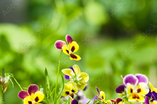 Papiers peints Pansies A field with bright multi-colored pansies. Natural floral background