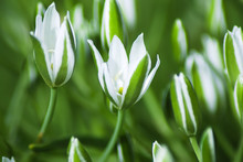 White Flowers Of Ornithogalum, Macro. Natural Background With Summer Flowers