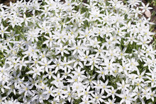 Many White Flowers Of Ornithogalum. Natural Background With Summer Flowers