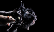 Wide Picture With A Rat, Cat And A Dog Heads Against Black Background