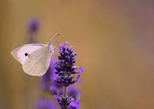 Cabbage White Butterfly Pieris...