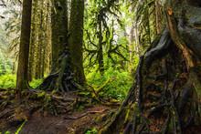 Hoh Rain Forest, Washington, U...