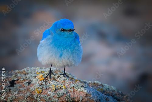Valokuvatapetti Mountain Bluebird