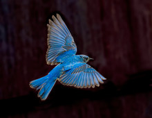 Blue Beauty – A Male Mountain Bluebird Spreads Its Wings And Brakes For A Landing Near Its Nest. Silverthorne, Colorado.