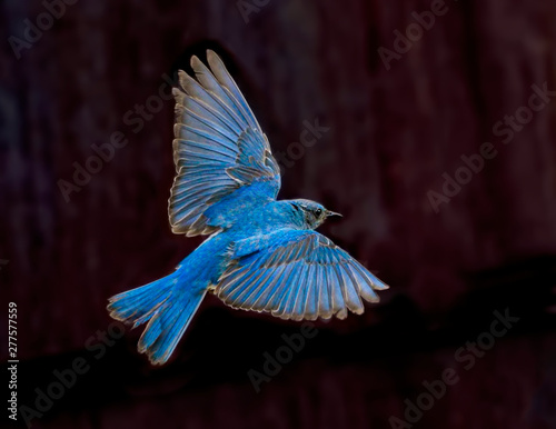 Fényképezés Blue Beauty – A male mountain bluebird spreads its wings and brakes for a landing near its nest