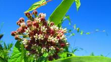 Common Milkweed (asclepias Syr...