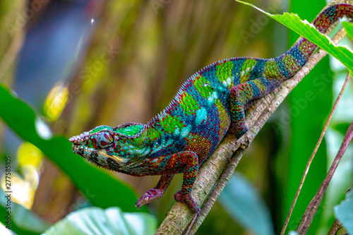 Cadres-photo bureau Cameleon colorful young chameleon on a branch, motley chameleon from Madagascar